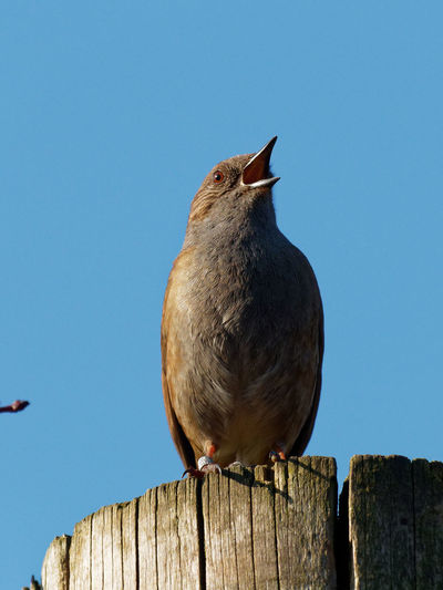 Close-up of bird perching on wooden post against clear sky