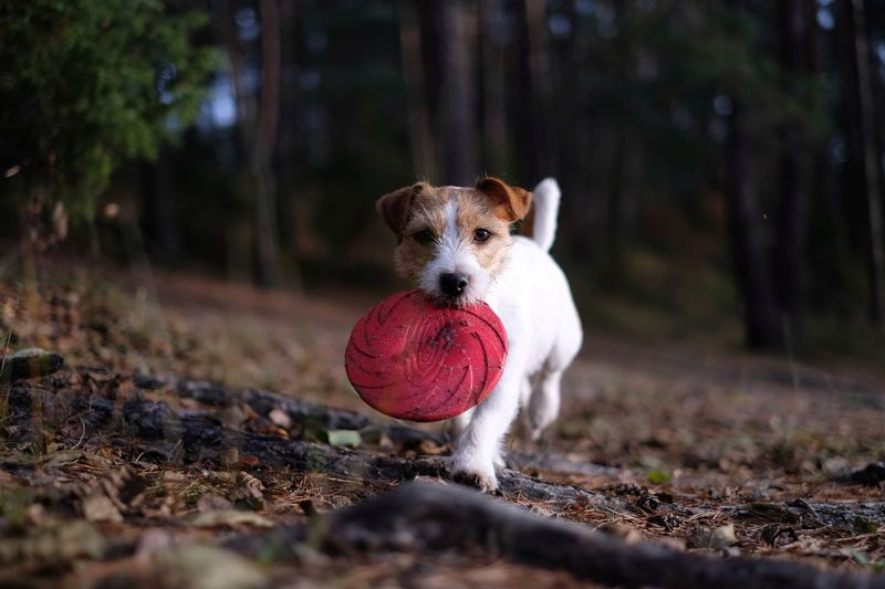 Dog playing with toy in forest