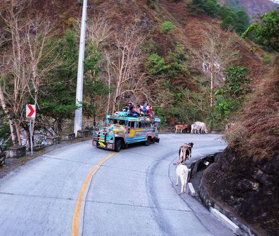 Transportation Mode Of Transport Land Vehicle Real People Outdoors Road Day Domestic Animals Cow Jeepney Top Load Mt. Pulag Philippines Adventure FUJIFILM X-T10 Fujifilm_xseries Fujifilm Fuji