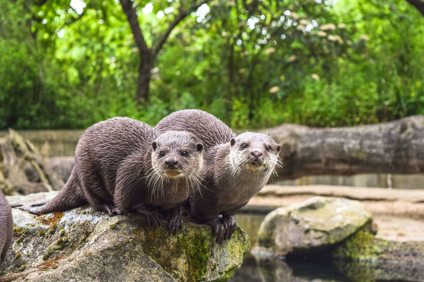 Two brown otters sitting on a rock looking into the camera Aquatic Asian  Berlin Zoo Zoo Animal Animal Themes Animal Wildlife Animals In The Wild Close-up Day Mammal Mammals Nature No People Oriental Ottensen Otter Otters Outdoors River Rock - Object Small Small-clawed Otter Tree Water