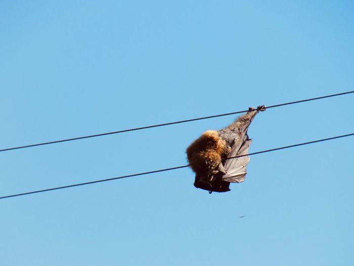 Low angle view of bird on cable against clear blue sky