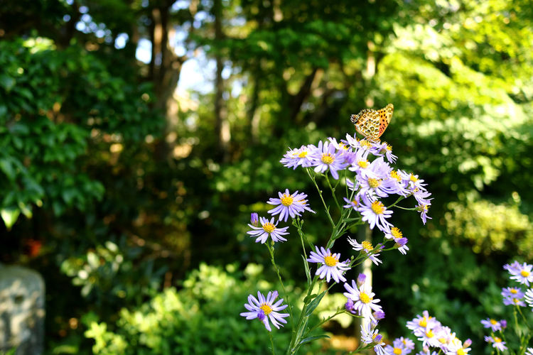 Small butterfly in Kyoto Japan Sunlight Advertising Space Beauty In Nature Bokeh Built Structure Butterfly Close-up Flower Flowers Fragility Nature No People No People, Outdoors Petal Plant Purple Shadow Sunbeam Tree