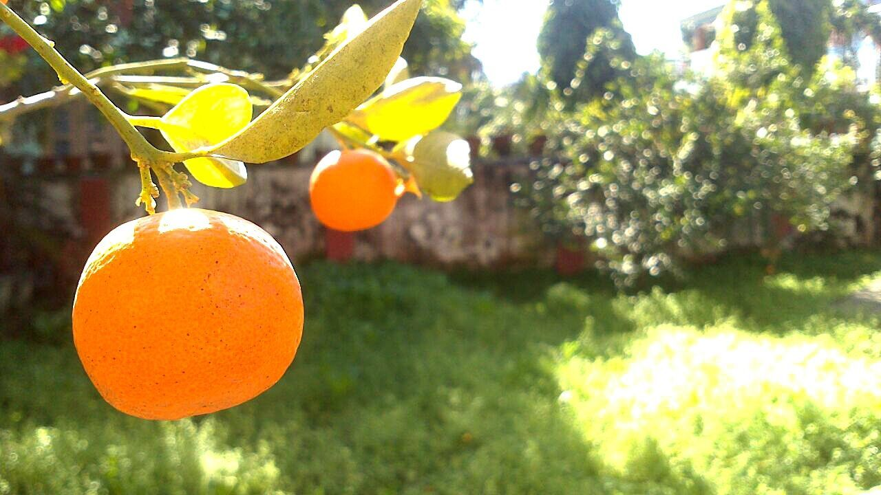 citrus fruit, tree, focus on foreground, no people, outdoors, hanging, fruit, day, growth, close-up, sunlight, yellow, nature, freshness