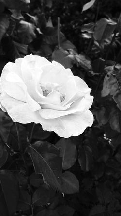 Monochrome Photography Flower Flower Head Growth Beauty In Nature Nature Softness Rose - Flower New Talents Popular Art Gallery Picoftheday Art Blackandwhite Rose♥