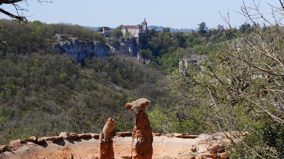 Rocamadour - Tree Outdoors Nature Nature Photography Magot Macaque Monkey Animals Animal Photography Macaque Singe Monkeys Nature_collection Macaque De Barbarie Monkey Nature Animal Themes Animal Mammal Tree Animals In The Wild Arbre Old Architecture Architecture_collection Church