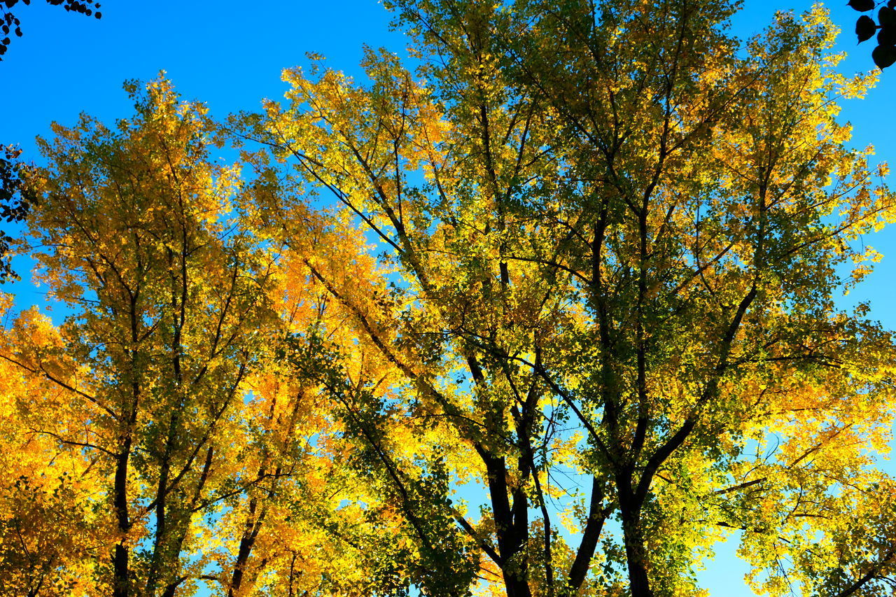 tree, plant, autumn, beauty in nature, low angle view, growth, change, sky, yellow, nature, day, branch, tranquility, no people, outdoors, sunlight, leaf, scenics - nature, orange color, plant part, tree canopy, fall, natural condition