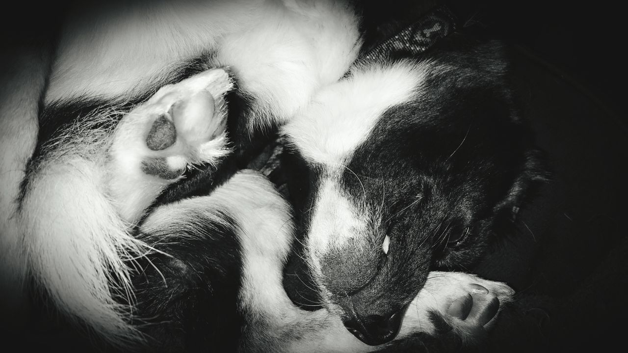 pets, dog, domestic animals, mammal, animal themes, one animal, indoors, sleeping, no people, close-up, relaxation, day