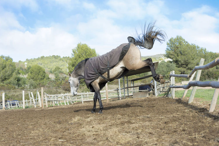 Horse kicking wooden fence at ranch against sky