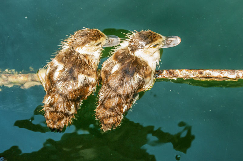 High angle view of young water birds driftwood in lake