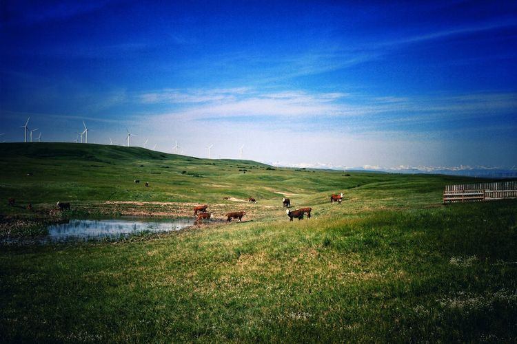 Herds, Wind Farm, Canadian Rockies Grassland Prairie Herd Cow Wind Farm Landscape Natgeo Alberta Alberta Canada Canadian Rockies  Summer Wilderness Agriculture Parkscanada Freerange Nature Working Water Field Agriculture Sky Grass Farmland Cultivated Land Agricultural Field Countryside Farm Patchwork Landscape The Great Outdoors - 2018 EyeEm Awards