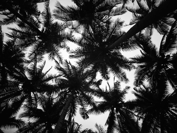 Coconut Trees Silhouettes EyeEm Best Shots EyeEm Nature Lover EyeEm Selects Eyeem Philippines Nature Tree Branch Backgrounds Full Frame Silhouette Sky Directly Below Growing Skylight Plant Life Leaves