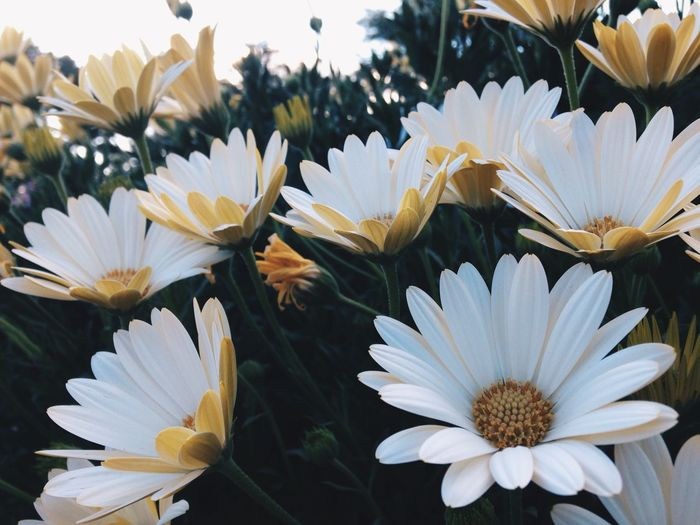 Osteospermum Voltage White Flowers Late Summer Colorado IPhoneography Vscocam