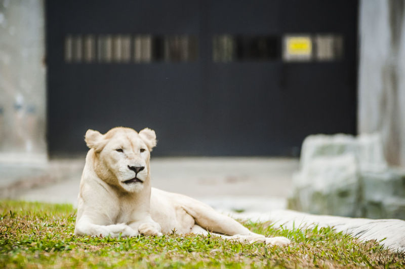 Lioness relaxing on grassy field at zoo