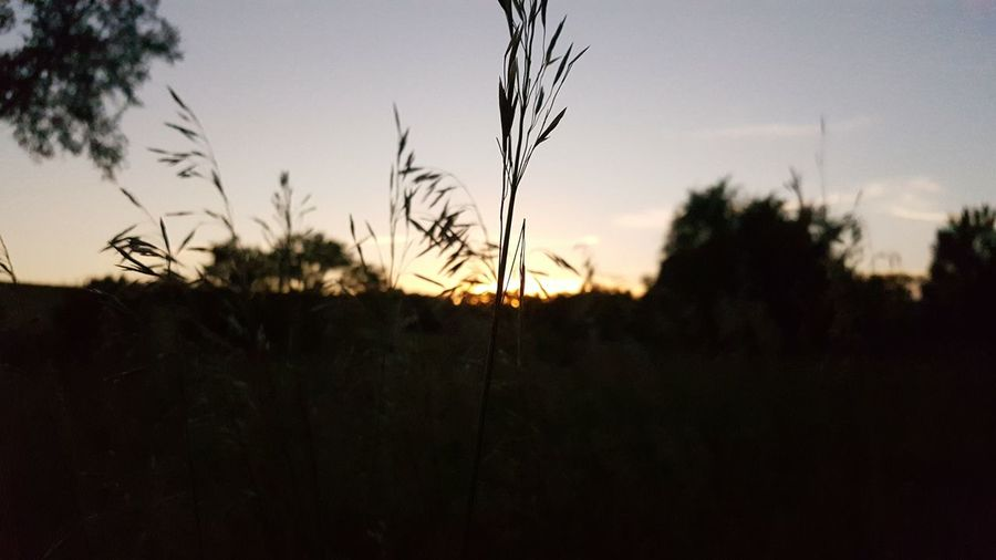 Close-up of silhouette plants at sunset