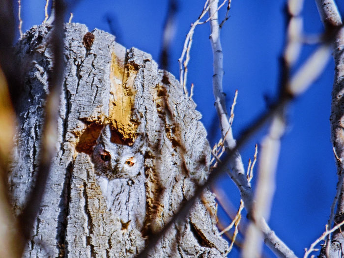 Low angle view of owl perching on damaged tree against clear blue sky