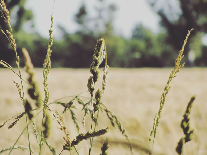 Natural simplicity Grass Farm Life Farm Countryside Argentina Green EyeEm Selects Close-up Sky Plant Animal Themes Farmland Crop  Plantation Cultivated Land Grassland Grass Area Agricultural Field Plant Stem Cereal Plant Crop