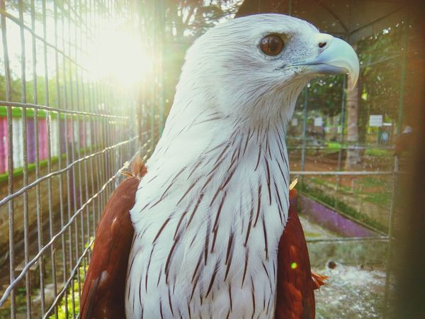 Hawk Sunshine Animal Themes One Animal Bird Animals In The Wild Animal Wildlife Nature Beauty In Nature Day No People Cage Outdoors Close-up Hawk Birdwatching Bird In Zoo Zoology Zoo Sunlight Elang Bird Photography Brahminy Kite Animals In The Wild Birds Of EyeEm