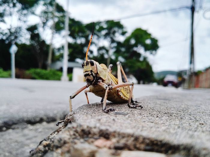 Close-up of grasshopper on street
