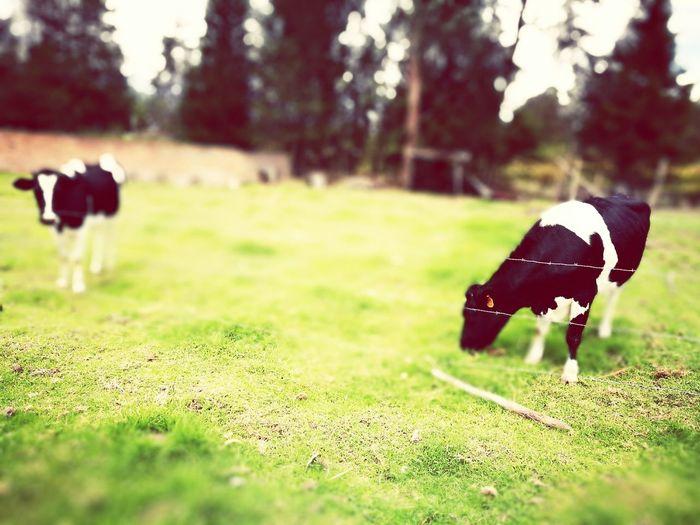 Nature Photography Sangolquí Campo Rural Scene Cows!!! Vacas Huawe Huawei P9 Leica Ecuador♥