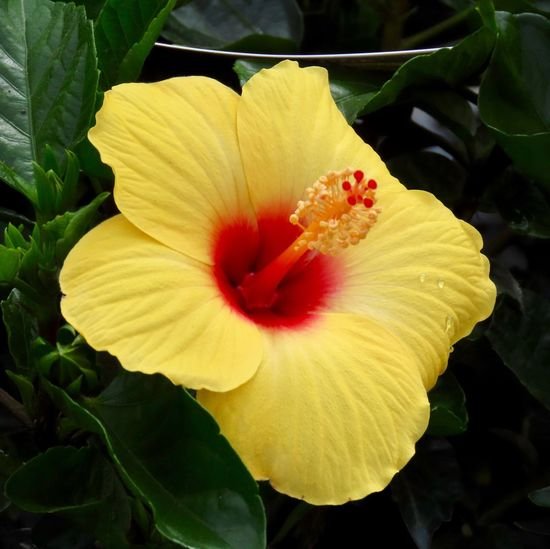 Flowering plant yellow petals hibiscus flower 🌺 beauty in nature close up green leaves one flowerhead Flower Vibrant Color No People