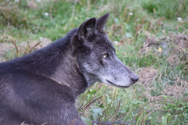 Alertness Animal Animal Body Part Animal Head  Animal Nose Animal Themes Close-up Day Domestic Animals Focus On Foreground Grass Grassy Herbivorous Looking Away Loup Canadien Mammal No People One Animal Outdoors Pets Profile Side View Snout Wolf Zoology