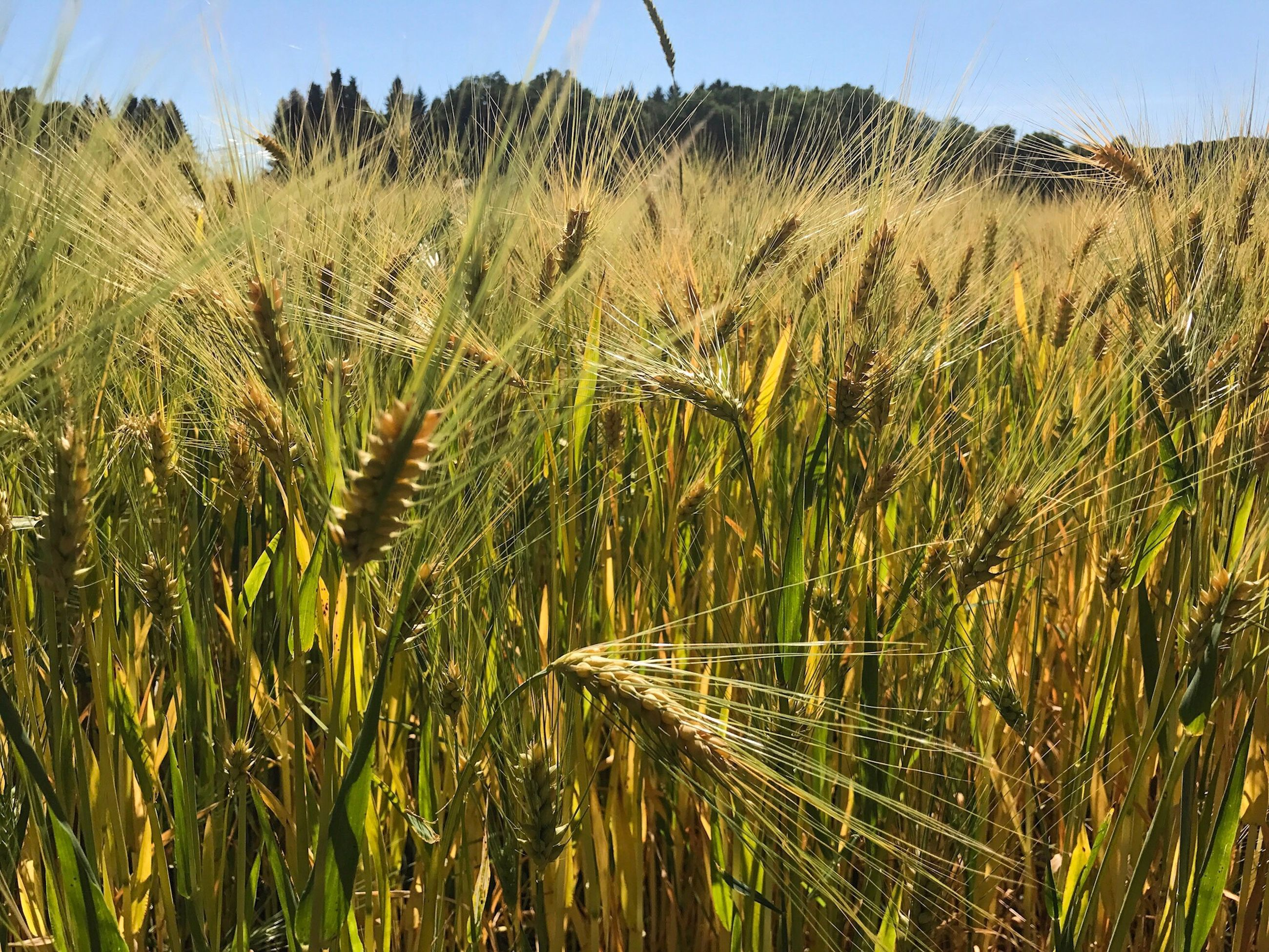 growth, agriculture, crop, cereal plant, field, farm, nature, rural scene, wheat, ear of wheat, cultivated land, plant, day, tranquility, tranquil scene, beauty in nature, outdoors, landscape, green color, no people, scenics, sky, close-up, clear sky, grass, rice paddy, freshness