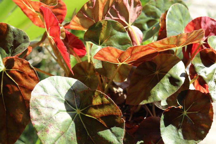 Lotus leaf in