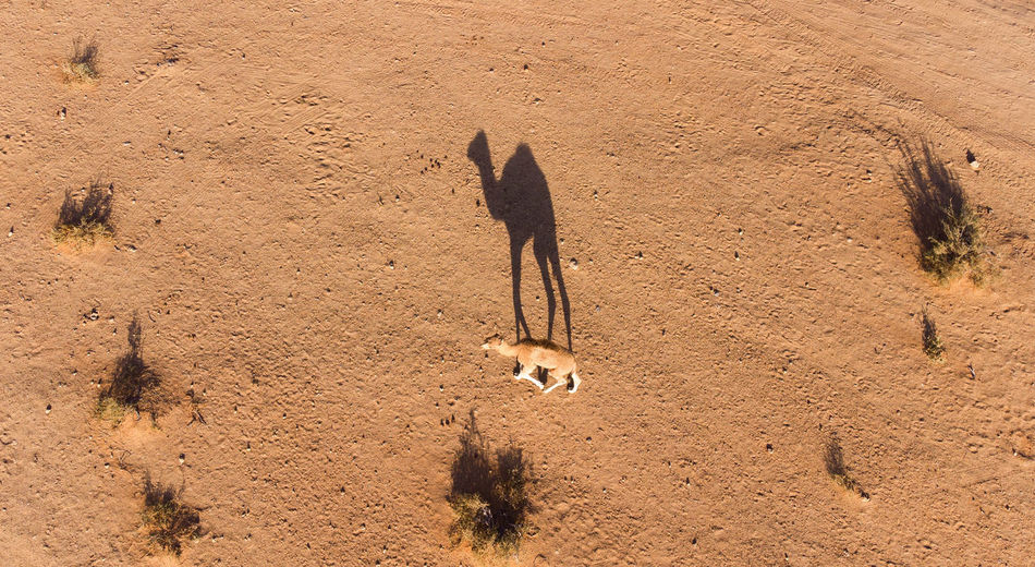 High angle view of a camel on sand