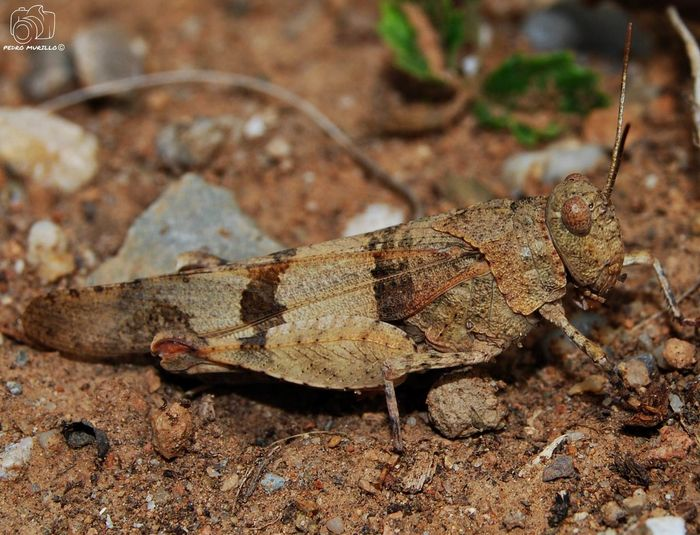 Grasshopper Grasshopper Insect Nature Grasshoppers Saltamontes Nikonphotographer Nikonphotography_ Nature Photography Naturephotography Nature Animal Wildlife Nature_collection Landscape_collection EyeEmNatureLover Animal Photography Photooftheday Outdoor Photography Naturelovers Natgeo Safari Forest Adventure Hiking Martorell Nikonespaña Catalunya Naturaleza🌵🌻🎶 Nikonphoto Nikonphotograhy Naturaleza🌾🌿 Insectos España Insect Photography Macro Insects Of The World Insectos De España Insect Nikon D60