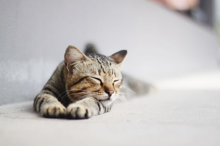 Close-up of tabby lying down