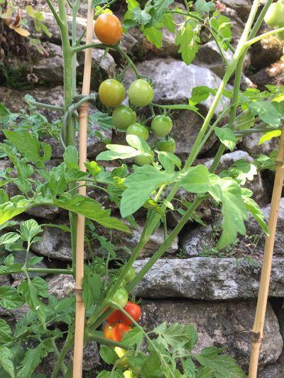 Tomatos Garden red Green Freshness Food Maggiatal Tessin