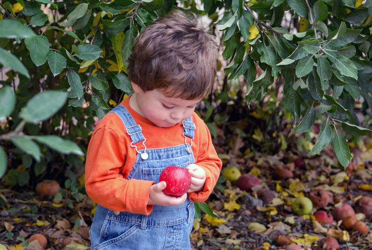 A cute little toddler examines a just picked red apple Apple Kids Boy Boys Casual Clothing Child Childhood Childhood Memories Day Food Food And Drink Front View Fruit Healthy Eating Holding Innocence Leaf Males  Nature One Person Outdoors Picking Apples Plant Part Toddler  Wellbeing