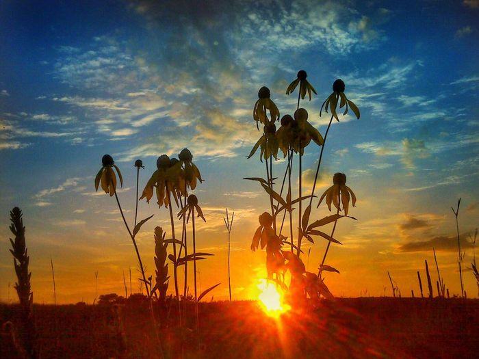 Sunset Sun Silhouette Growth Plant Beauty In Nature Sky Stem Sunlight Nature Tranquility Awe Scenics Tranquil Scene Sunbeam Field Cloud - Sky Cloud Close-up Dramatic Sky Slarsenphotography