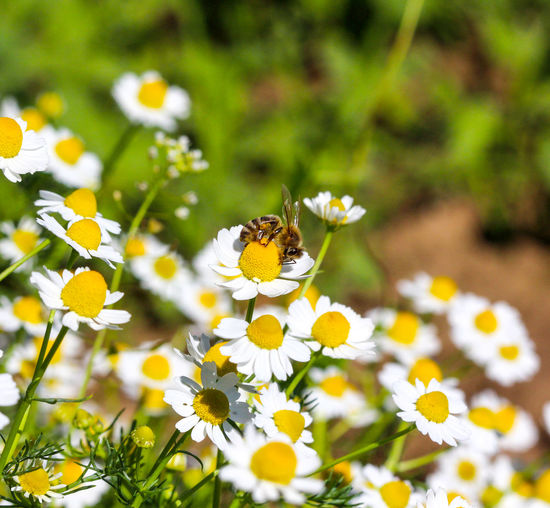 bee Animal Themes Animal Wildlife Animals In The Wild Beauty In Nature Bee Bee 🐝 Blooming Chamomile Close-up Day Flower Flower Head Fragility Freshness Growth Insect Nature One Animal Outdoors Petal Plant Pollination White Color Yellow