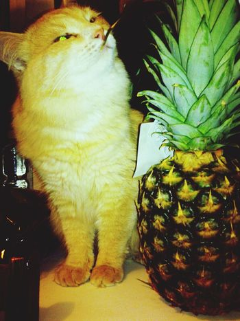 Nelson-cat and Christmas pineapple