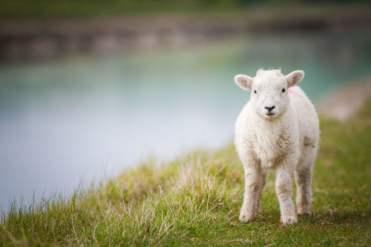 So Cute Animal Animal Themes Day Domestic Domestic Animals Focus On Foreground Grass Herbivorous Lamb Land Livestock Looking At Camera Nature No People One Animal Outdoors Pets Plant Portrait Sheep Standing EyeEmNewHere