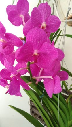 Orquideas❤ Vanda Flower Petal Pink Color Beauty In Nature Nature Flower Head Fragility Plant Blossom No People Freshness Orchid Growth Springtime Tranquility Day Outdoors Close-up