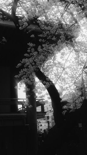 Tokyo Nishishinjuku Tokyospring2016 Cherryblossoms Bnw Bnw_collection Bnw_captures Bnw_nature Naturelover Tokyoblossoms EyeEM Tokyo EyeEm Japan EyeEm Gallery EyeEm Nature Lover Eyeem Collection EyeEm Bnw