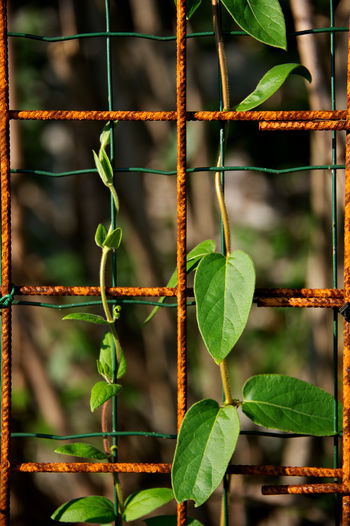 the power of nature Beauty In Nature Bud Close-up Freshness Green Color Growth Leaf Nature No People Plant Power In Nature Rust Wire Mash