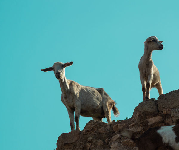 Pair of wild goats in agadir low level with blue sky background
