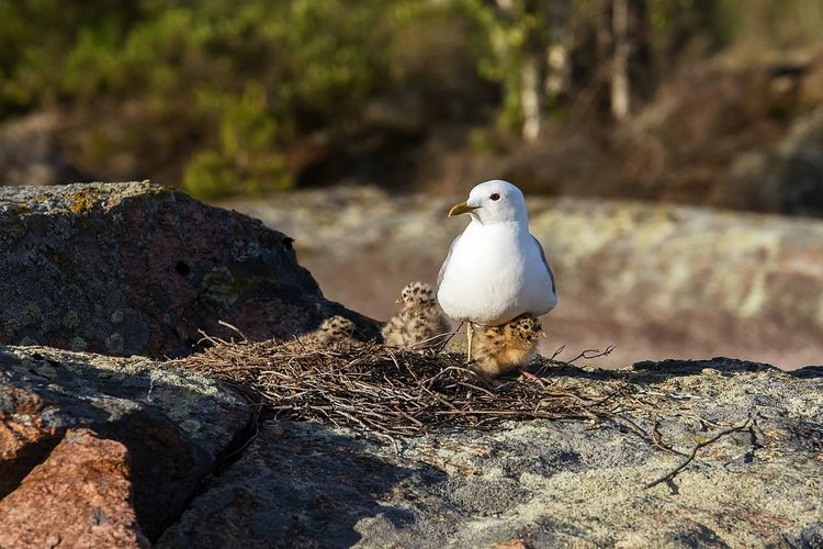 Close-Up Of Seagull With Young Birds By Nest On Rock At Glaskogens Naturreservat