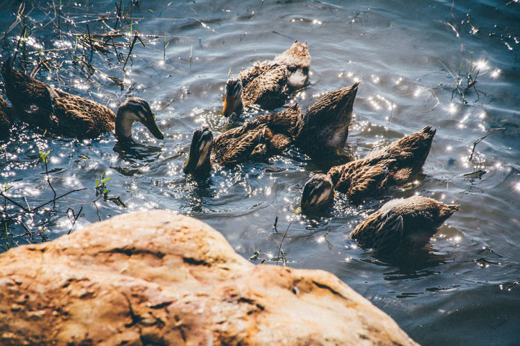 duck Water Rock Rock - Object Solid Animal Wildlife Nature Animals In The Wild Animal Themes Sea Animal Day High Angle View Vertebrate Group Of Animals Swimming No People Sunlight Waterfront Outdoors Marine Flowing Water