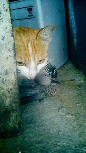 """THIS IS MINE!!!!!"" alululuu janganlah marah~ gambar sikit saja.. Relaks :P Catsofinstagram Cat Dead Animal Dead Bird Hiding At My House <3 My Pet"