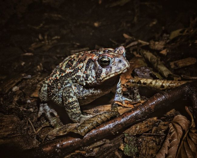 Amphibian Animal Animal Body Part Animal Head  Backyard Beauty In Nature Close-up Focus On Foreground Frog Natural Pattern Nature No People Outdoors Selective Focus Toad Wildlife