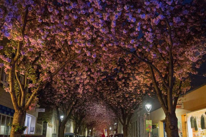 Cherry blossoms in Heerstraße and Breite Straße, Bonn, Germany 100 Places Before You Die Avenue Cherry Trees Beautiful Blossom Avenue Bonn Cherry Blossom Cherry Blossoms Evening Blossoms Germany Hanami Hanami Sakura  Heerstraße