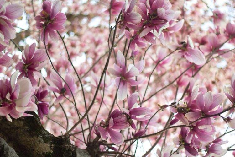 Japanese Magnolia Full Bloom First Eyeem Photo Magnolia EyeEm Best Shots - Flowers Flowers