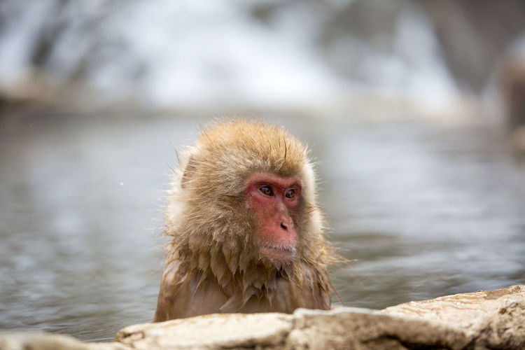 Close-Up Of Monkey Looking Away In Hot Spring During Winter