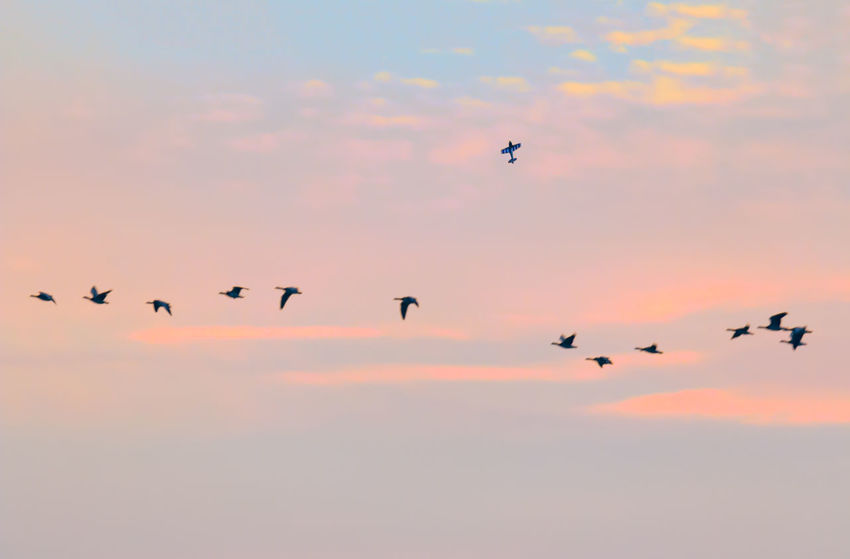 Geese and airplane. Looks like a goose has left the flock and transformed into a plane! Animals In The Wild Bird Breaking Free Flock Of Birds Flying Freethinker Go Your Own Way Mid-air Silhouette Sunset Transformation