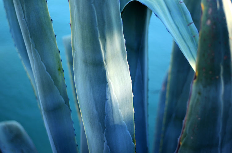 agave leaves close-up Agave Agave Leaves Agave Plant Aquamarine Beauty In Nature Blue Close-up Nature First Eyeem Photo
