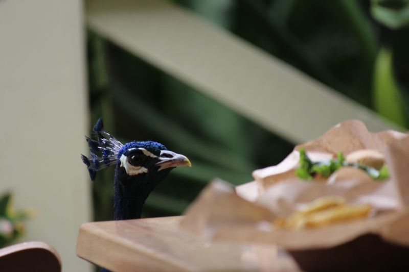 Close-up of peacock eating food